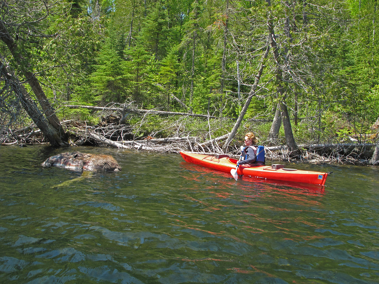 Dead Moose<br /> <br /> I wanted to show our granddaughter a moose but not the one we encountered.  Karla spotted what we thought was a rock near the shore in a back bay.  As we paddled closer, the swarms of flies gave a clue to the harsh reality.  Luckily, we were on the up-wind side and didn't encounter any of the smell.  Moose have been dying over the last few years and researchers don't have any answers as to why this is happening.