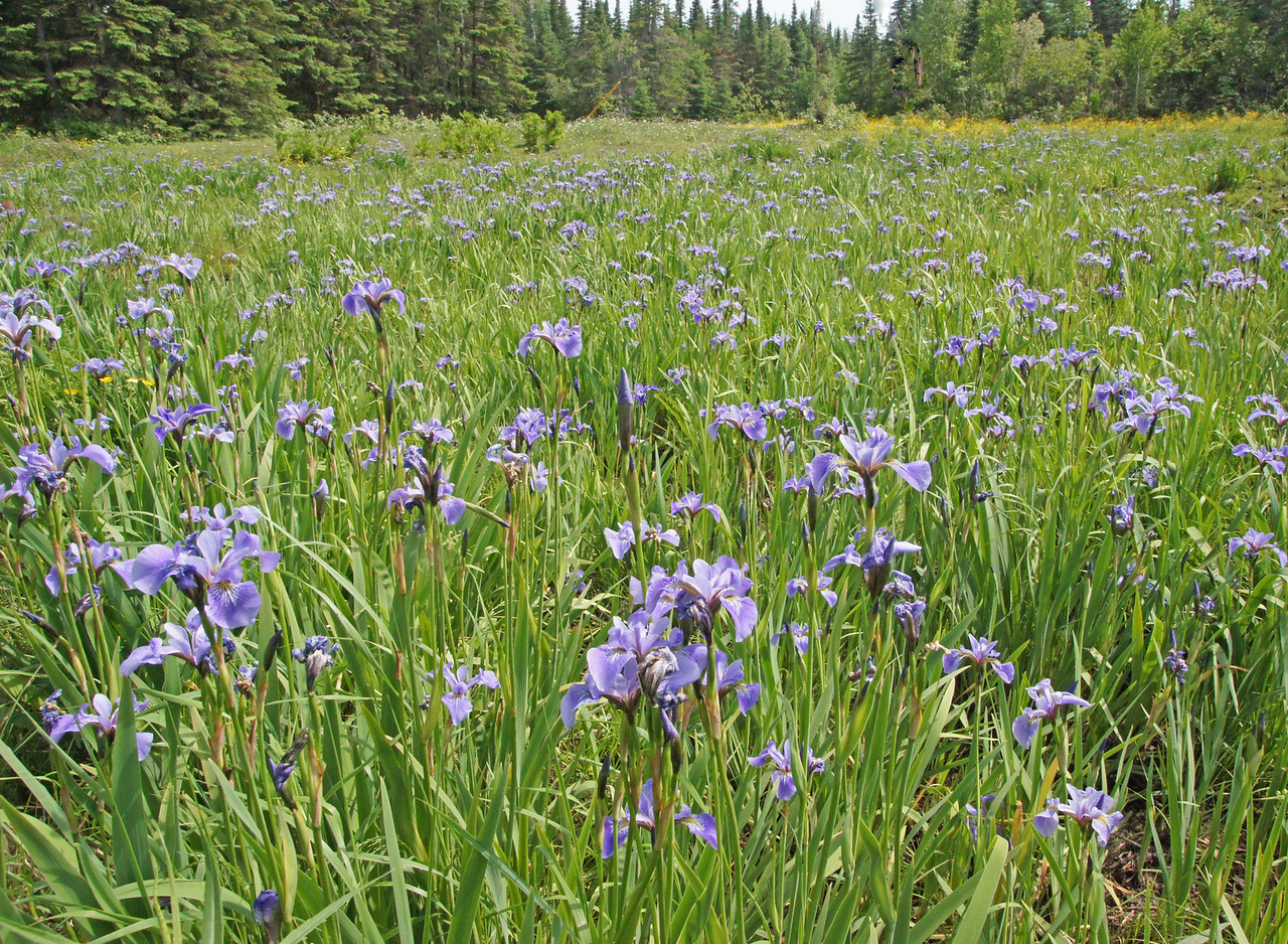 Blue Flags 001<br /> <br /> The same rains that have swollen the North Shore rivers have produced some pretty nice flowers. The wild blue flags are covering many of the wet marshes this year.