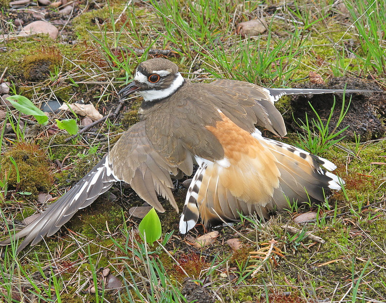 Killdeer 002<br /> <br /> Mom and dad defend their babies against all kinds of dangers. In just two hours they diverted several hikers, a car, dogs, and a chipmunk from coming too close to the little chicks. The adult killdeer act like they have a broken wing. It distracts whatever is too close to the babies. One of the adults lay in front of an oncoming car to get it to slow down so the babies could get out of the way.