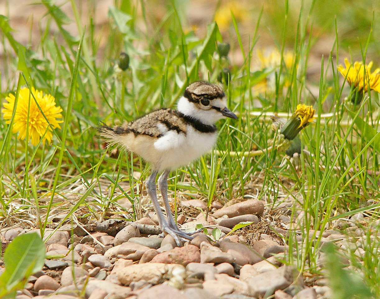 Killdeer 005<br /> <br /> Killdeer chicks are so cute. They have only one ring around their neck while the adults have two.