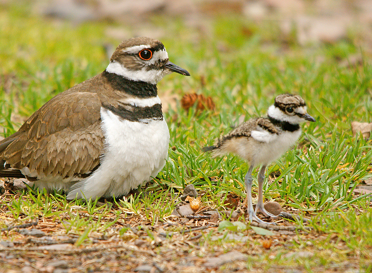 Killdeer 003<br /> <br /> In the two hours that I photographed the chicks is seemed like no one else even noticed them.