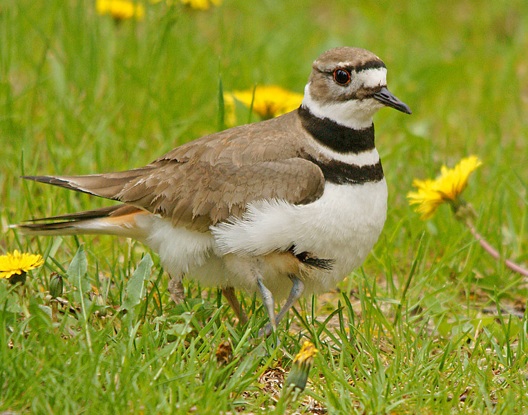 Killdeer 004<br /> <br /> If you are scared just stick your head under mom's wing and everything will be fine.