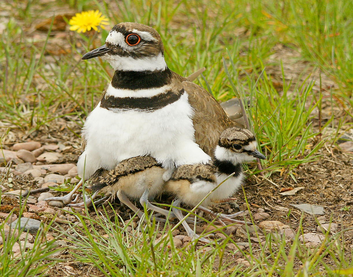 Killdeer 001<br /> <br /> The eggs hatched around Memorial Day.  This week the four little ones were already running across the beach feeding on insects. Every once in awhile they got scared or cold and crawled under mom or dad's wings for protection.