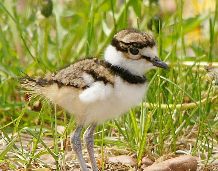 Killdeer 006<br /> <br /> They appear to be born with fully developed long legs but just the tiniest little wings.