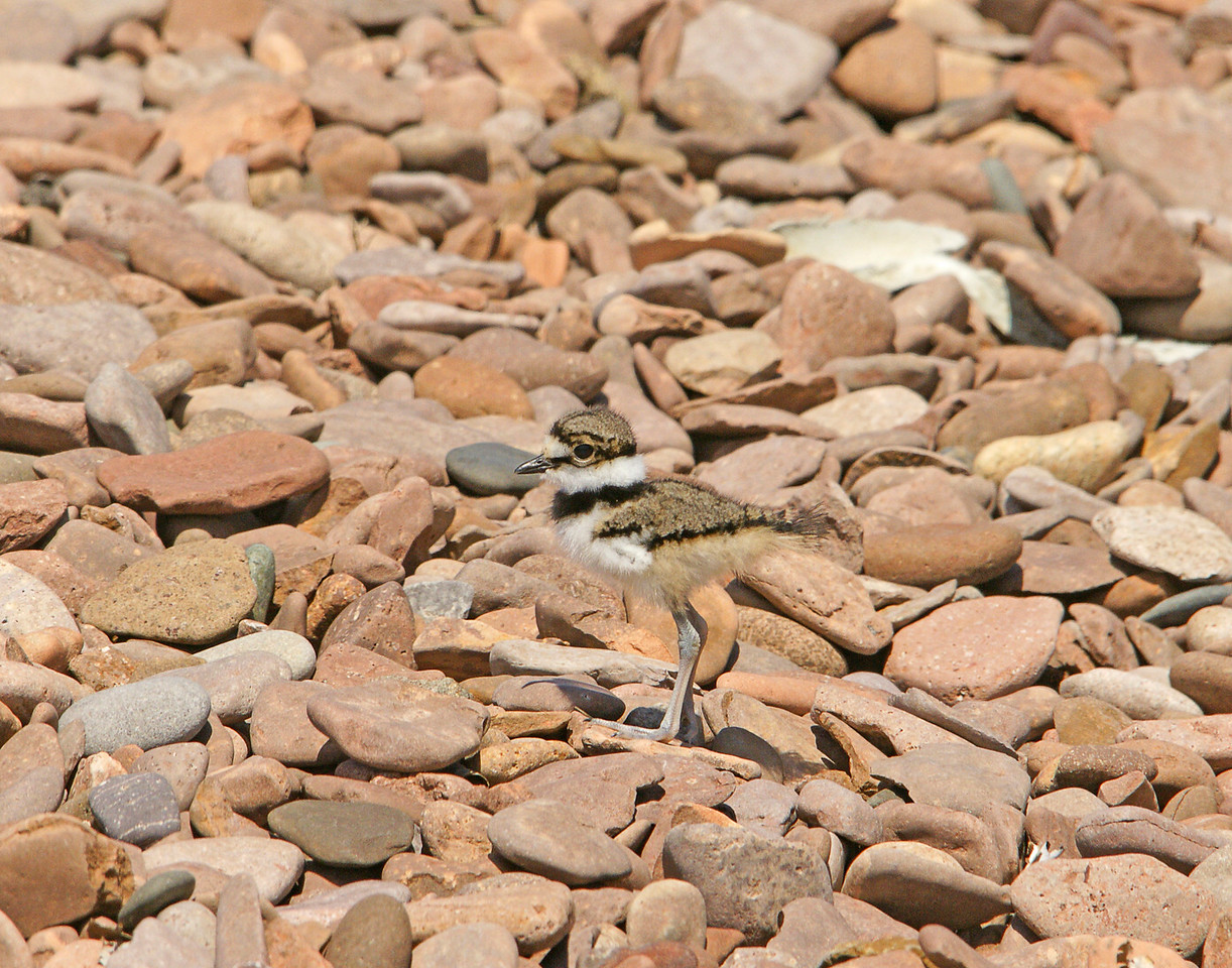 Killdeer 007<br /> <br /> I could see why no one noticed these two inch tall chicks as they blend right into the rocks.