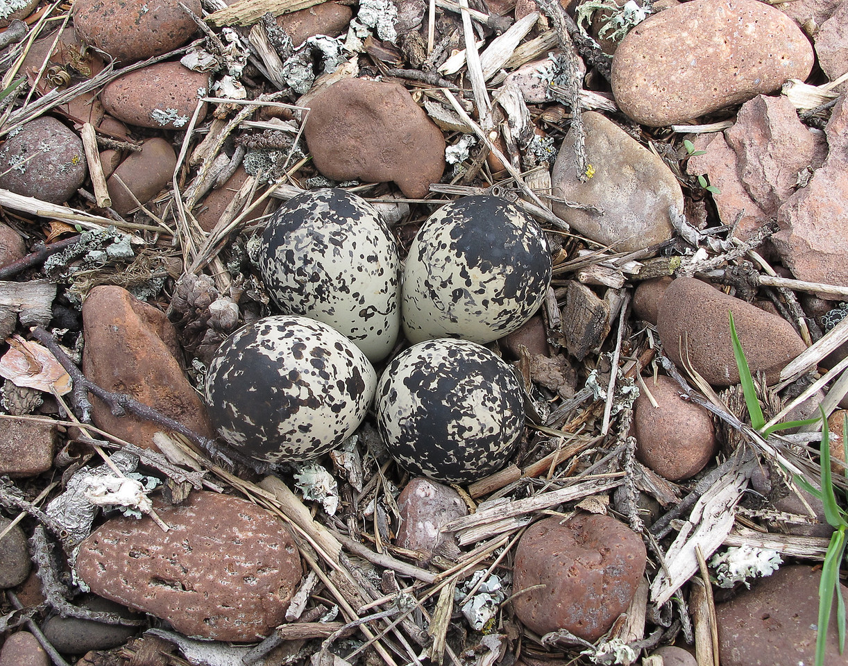 Killdeer Eggs<br /> <br /> A couple of weeks ago I noticed a pair of killdeer hanging around the beach in front of the Grand Marais municipal campground. I was able to locate the nest right in the rocks with very little protection from trampling feet.