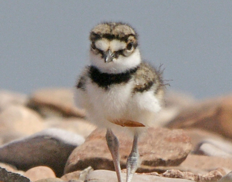 Killdeer 008<br /> <br /> Looking at this little guy through the telephoto lens I thought he was going to trample me.