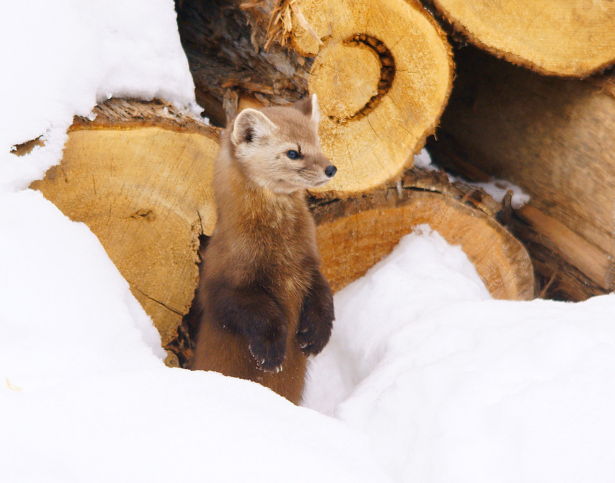 Pine Marten 004<br /> <br /> We have a pile of cedar logs in our yard that the pine marten always checks for squirrels.