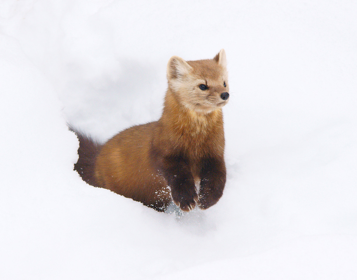 Pine Marten 006<br /> <br /> We have not seen him catch a squirrel yet, but it is only a matter of time.