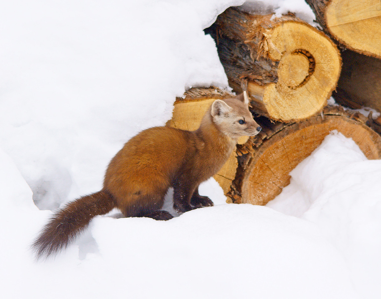 Pine Marten 005<br /> <br /> His head pops out from between the logs from time to time.