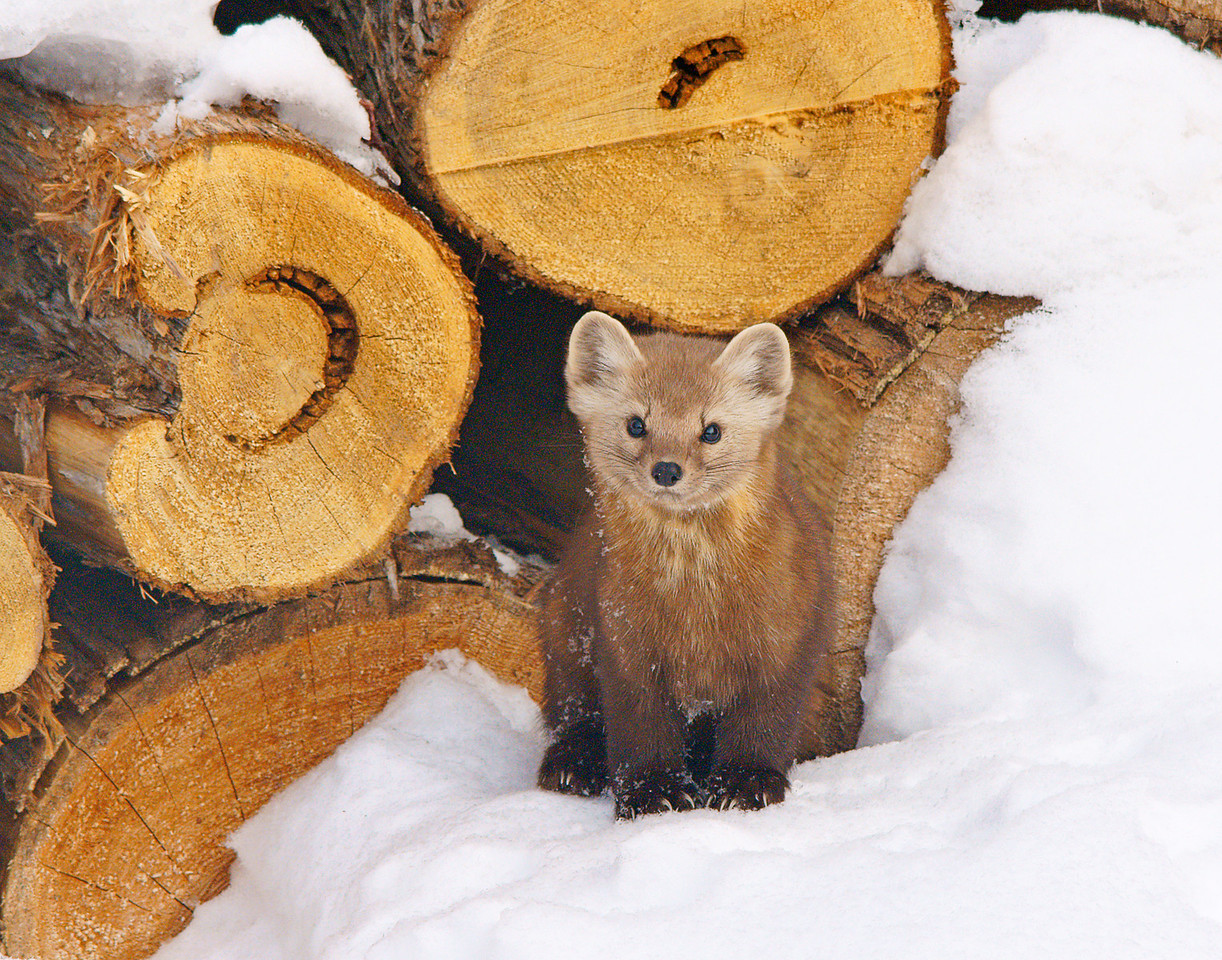 Pine Marten 002<br /> <br /> They are fun to watch.  At about the size of a large mink, they can move through the trees as fast as a squirrel.  Actually they can move faster than a squirrel as red squirrels are a highly prized item on their menu.