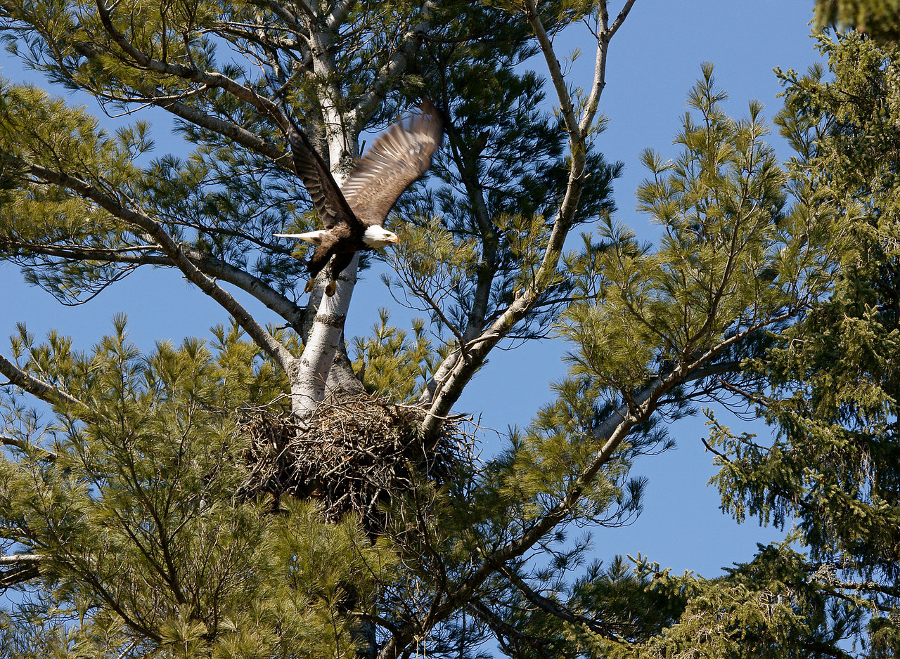 Indian Lake Eagle Nest 002<br /> <br /> It appears as though the eagles are doing fine in the cold weather.