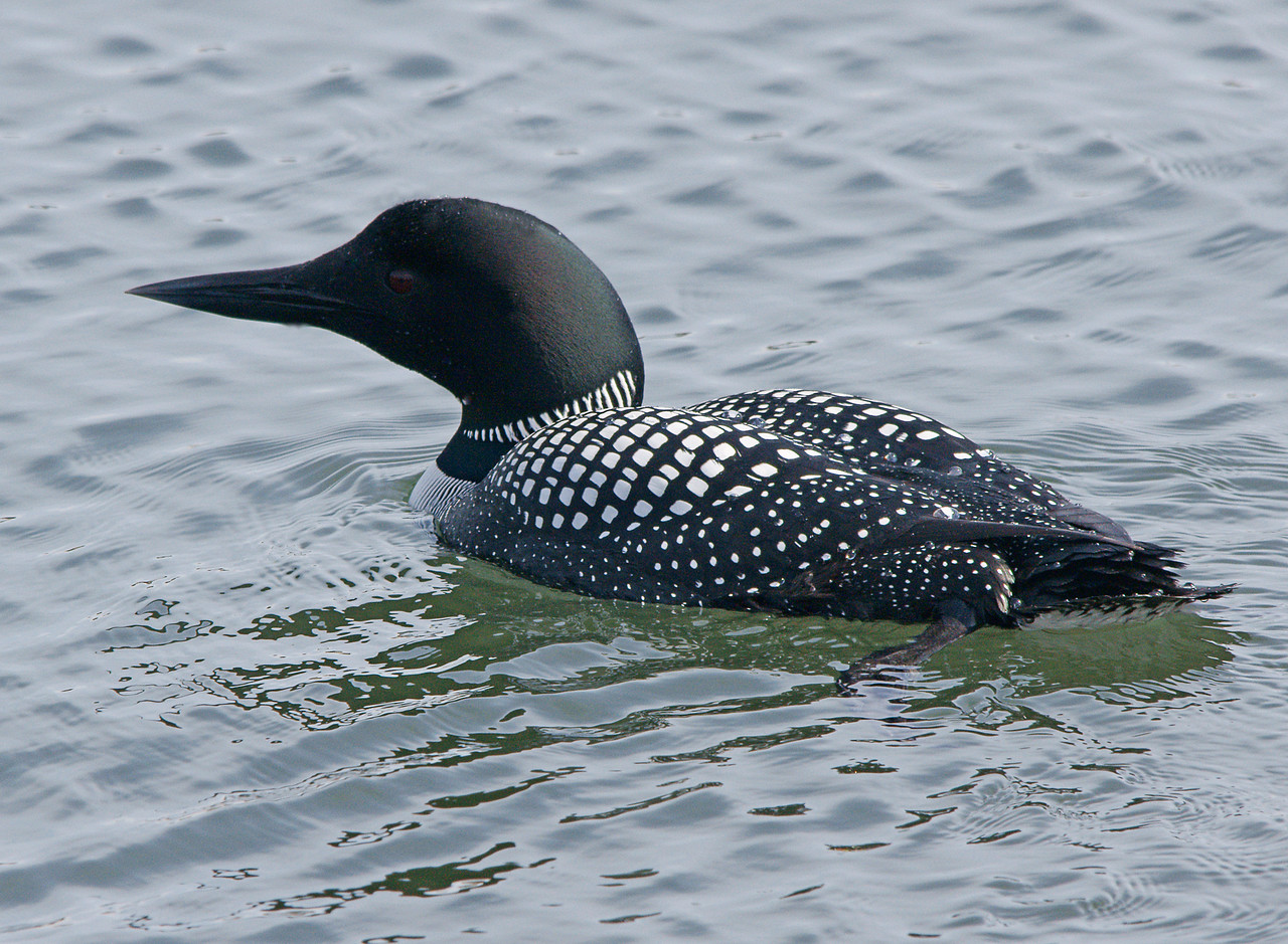 Lake Superior Loon 002<br /> <br /> I saw two different loons on the big lake this week. One came pretty close to me as it was fishing along the shoreline.