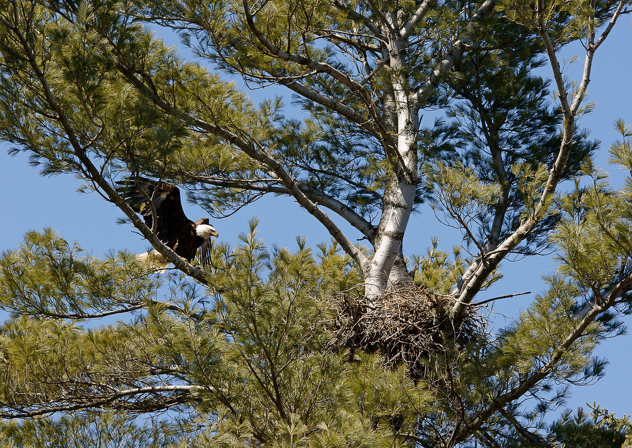 Indian Lake Eagle Nest 001<br /> <br /> I also checked an eagle's nest located at the Indian Lake boat landing just north of Two Harbors. The pair was taking turns sitting on the eggs.
