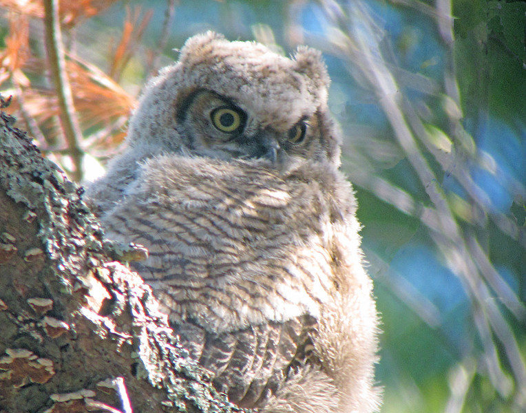 Great Horned Owl Baby on Limb<br /> <br /> The other two babies sat on a limb adjacent to the nest as either the mom or dad watched very carefully from a nearby tree.