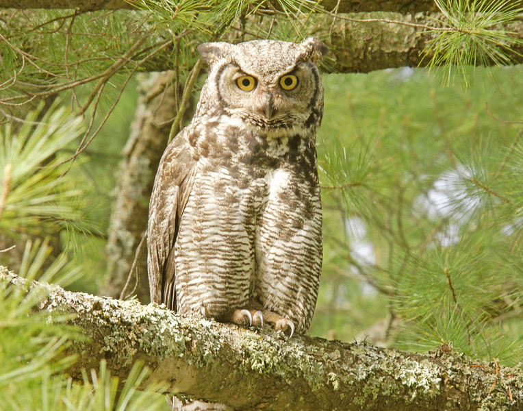 Great Horned Owl<br /> <br /> When a raccoon approached the tree the day before, the adult attacked with a vengeance. The force of impact stunned the raccoon and left it hanging by its hind feet.  The adults will be kept quite busy feeding all three babies.