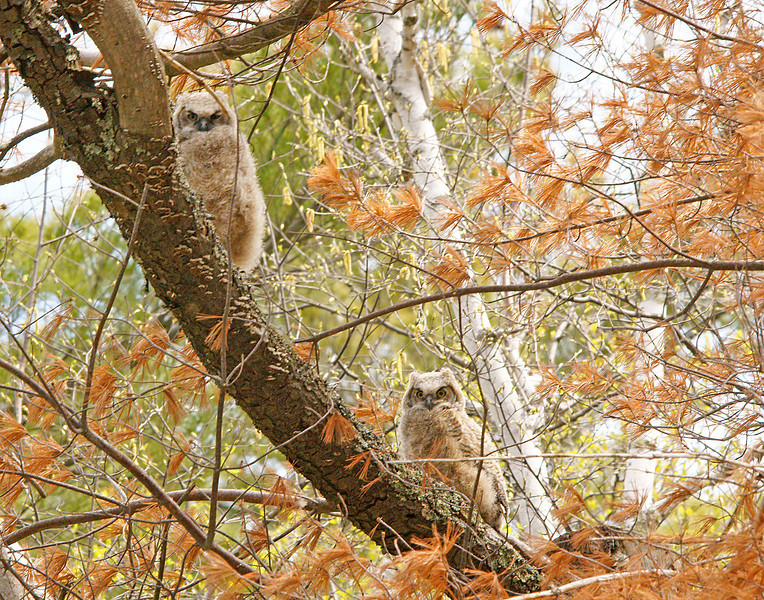 Great Horned Owl Nest With Babies