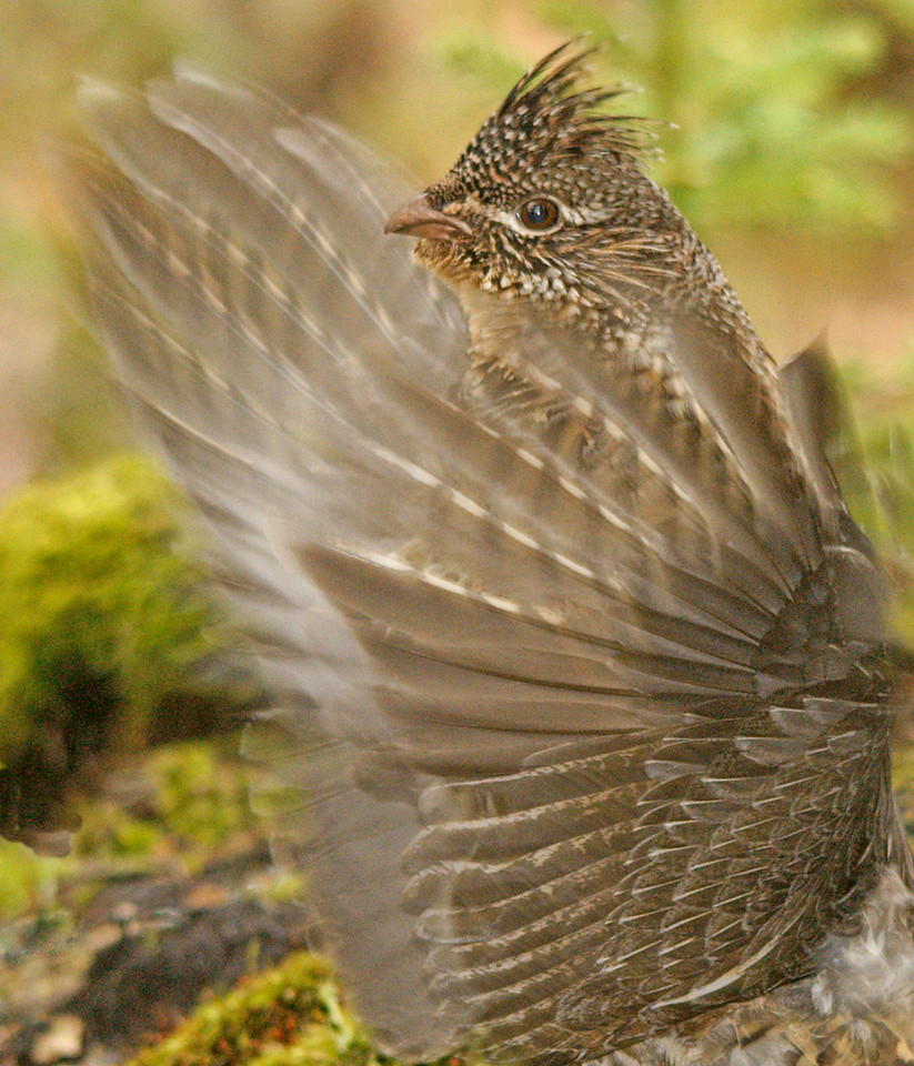 Drumming Ruffed Grouse 004<br /> <br /> This spring I searched for a new log around the Cascade River State Park campground and found a ruffed grouse using part of an old moss covered foundation.
