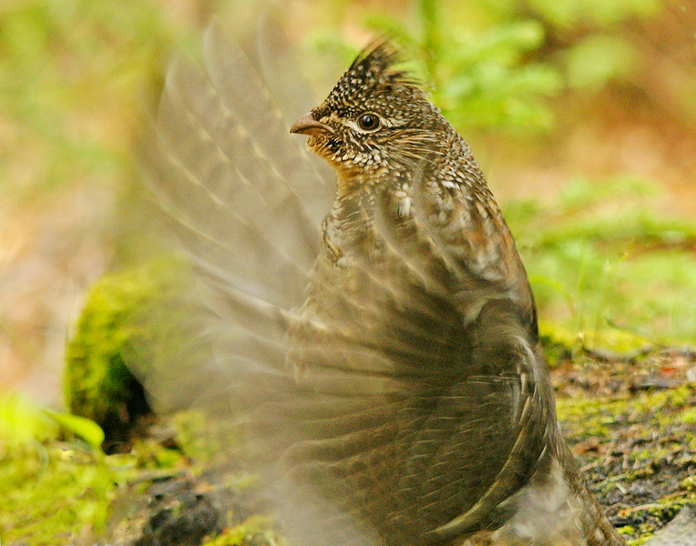 Drumming Ruffed Grouse 003<br /> <br /> They always use something elevated to drum on so they can see any approaching danger. The wings don't actually strike the log. The sound comes from the wind moving through the feathers as the grouse beats its wings in rapid succession.
