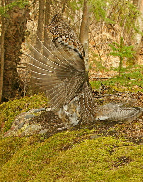 Drumming Ruffed Grouse 006<br /> <br /> It is surprising what can be seen when you quietly spend time in the woods. One day another male came into his territory. He was ready for battle. He puffed up his feathers and chased after him and the other male ran for his life.
