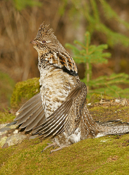 Drumming Ruffed Grouse 005<br /> <br /> At first he wasn't too cooperative but after I sat in the woods watching him for a few days he allowed me to get closer.