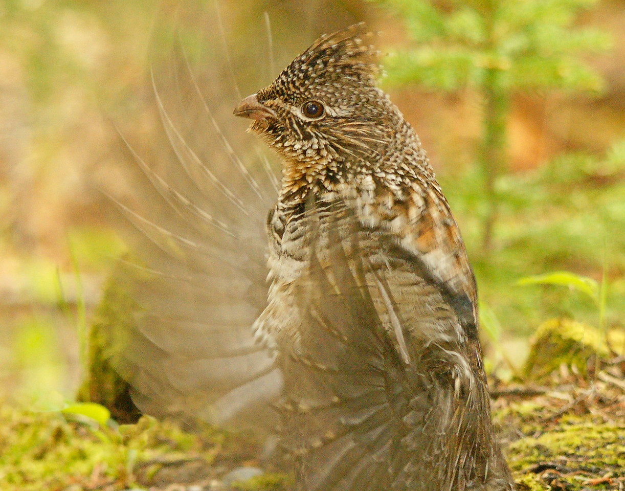 Drumming Ruffed Grouse 002<br /> <br />  It is pretty easy to find a drumming area. Early in the morning go into the woods and listen for the sound that resembles a motor trying to start but never does. Grouse drum about every three minutes so just follow the sound to locate the drumming log or rock.