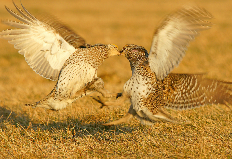Sharp-tailed Grouse Dancing 003<br /> <br /> Every so often the males get into a sparing event where they jump at each other kicking and biting.