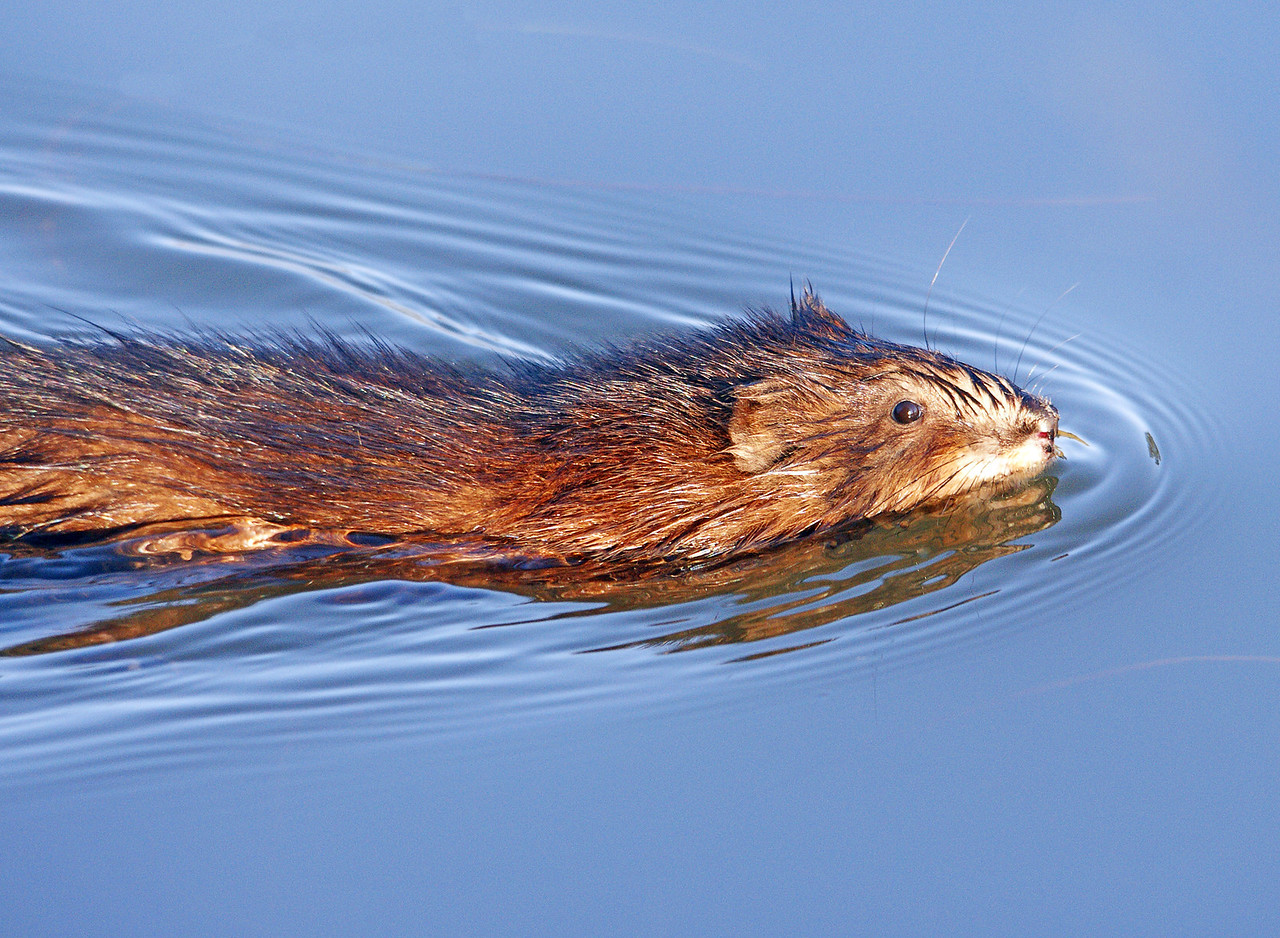 Muskrat 002<br /> <br /> As the water gets colder the small waves made by the muskrat seem to be suspended in motion. We probably won't see these guys again until next spring.