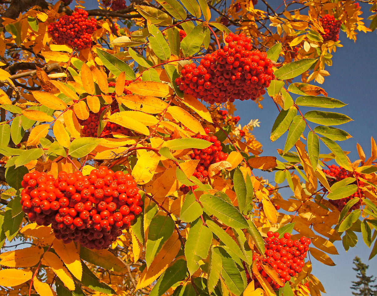 Mountain Ash Fall Colors<br /> <br /> The tremendously strong winds we had this week has taken a toll on the beautiful colored leaves that were still hanging on the trees. That said there are still a lot of beautiful subjects to photograph. Usually the mountain ash leaves are the last to fall.