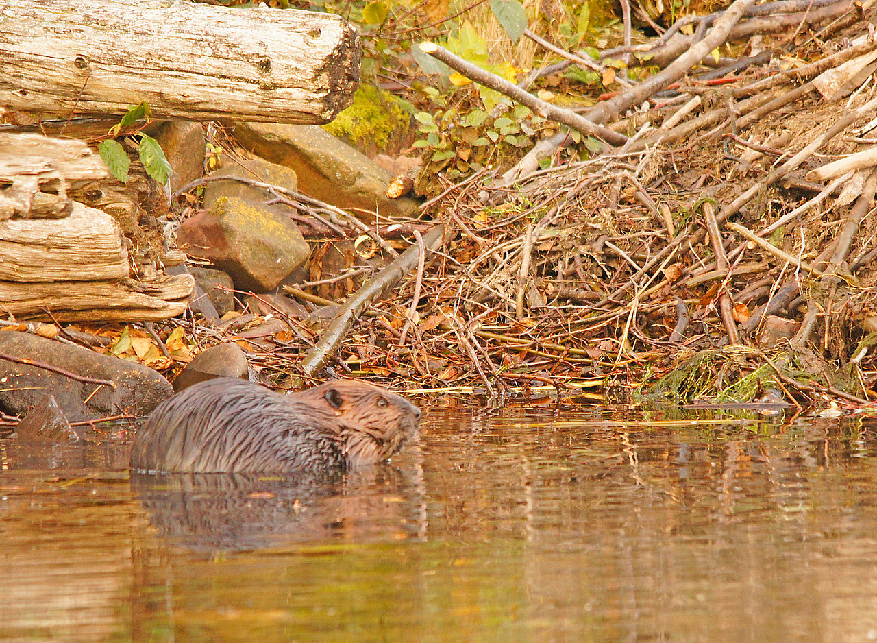 New Beaver Lodge<br /> <br /> As late fall approaches beaver typically have a huge food pile in front of their lodge ready for the long winter. This beaver family constructed a new lodge in front of the Border Patrol Office in Grand Marais this fall.