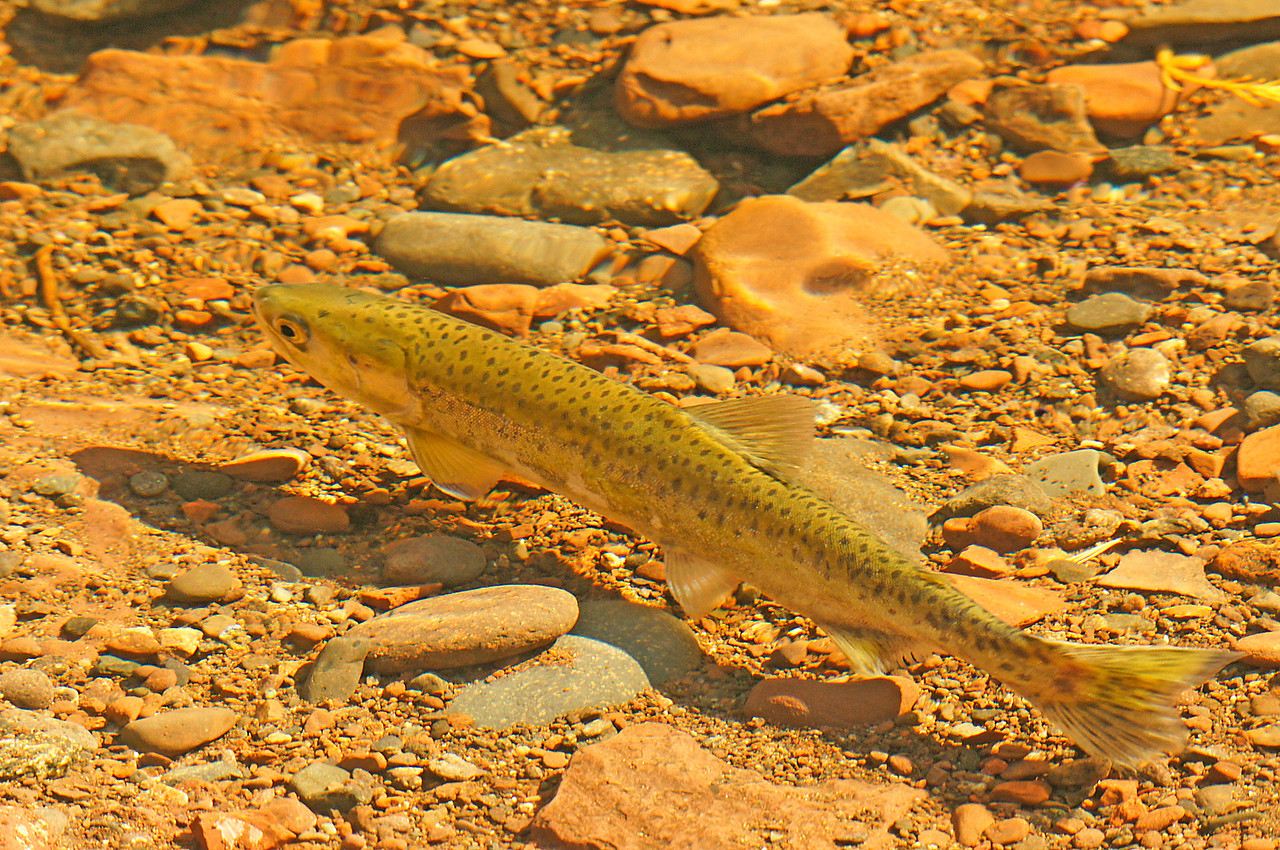 Salmon in the Cascade River 002<br /> <br /> In the Cross, Temperance and Cascade Rivers the salmon spawn amongst the rocks in the shallow water near the river mouths. I photographed this salmon as the noonday sun shone into the water.