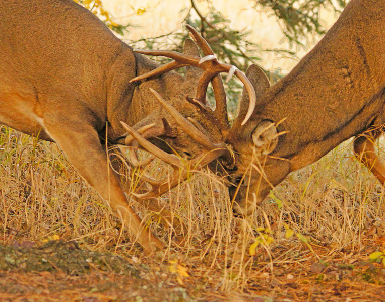 Two Harbors Whitetail 007<br /> <br /> Sometimes they get their antlers locked or even inflict a severe injury to each other.