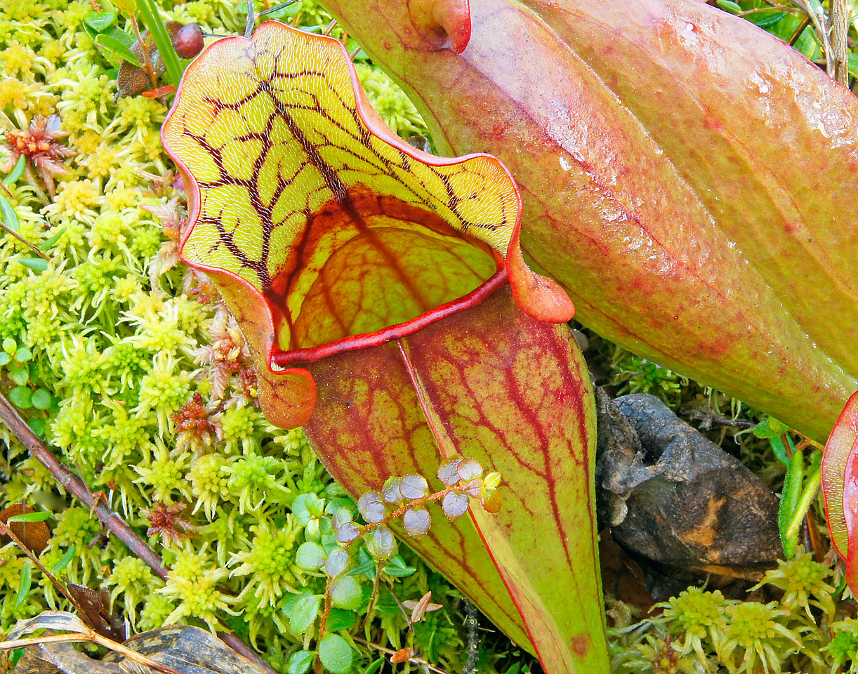 Pitcher Plants<br /> <br /> Back canoeing on Mic Mac we took a side trip to a floating bog. Kate had never walked on a floating bog before. As she jumped from the canoe the bog moved up and down like a sponge. Along with other bog plants we found thousands of Pitcher Plants. Pitcher Plants are carnivorous, getting their nourishment from eating little insects. Downward-pointing bristles help trap insects as they enter the pitcher-like leaves. The pitcher is half filled with water containing a poisonous cocktail that kills and dissolves the insect.  Kate put her finger in the plant to check out the bristles. She found out that when you push your finger down along the inside it feels as smooth as silk but when you pull it back out it is as rough as coarse wool.