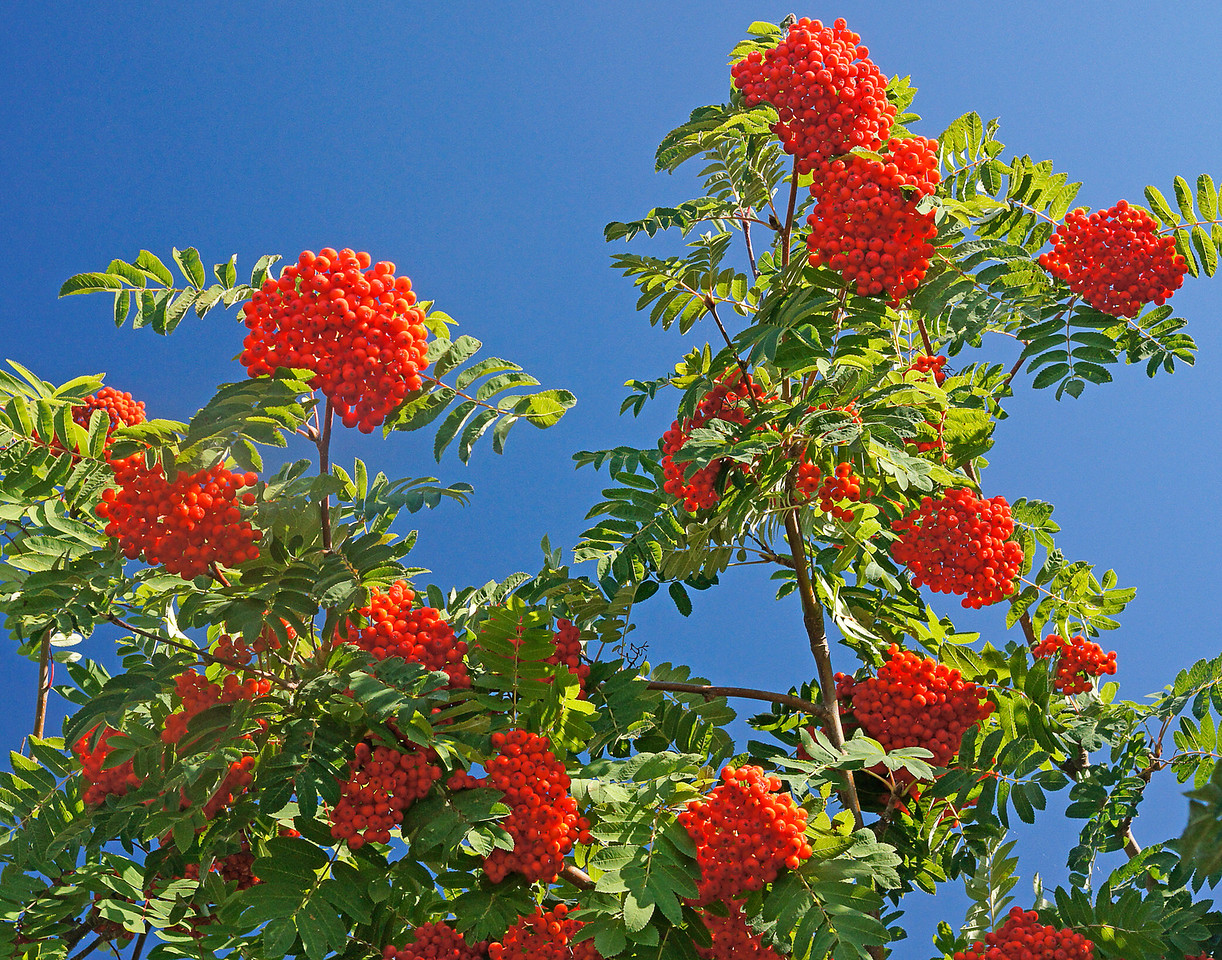 Mountain Ash Berries<br /> <br /> The first signs of fall are arriving to the northland. The mountain ash trees are laden with beautiful red berries. Usually that means for a very snowy winter.