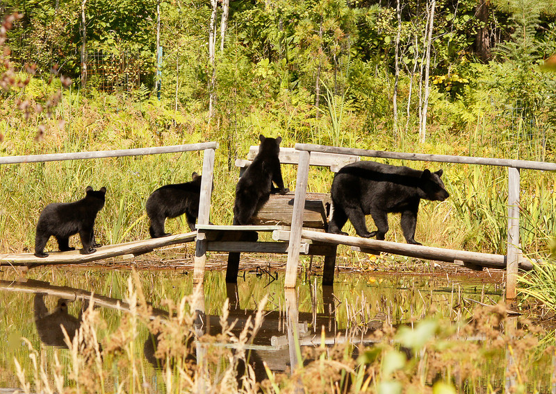 Black Bear Family<br /> <br /> The black bear are moving around trying to put on as much fat as they can for winter. This morning the mom returned with her three cubs and walked across our bridge again. Luckily I was photographing the wood frog at the time so I heard her coming. This time I was able to get a picture of all of them as they crossed the bridge. The cubs kept looking back like something was following them.
