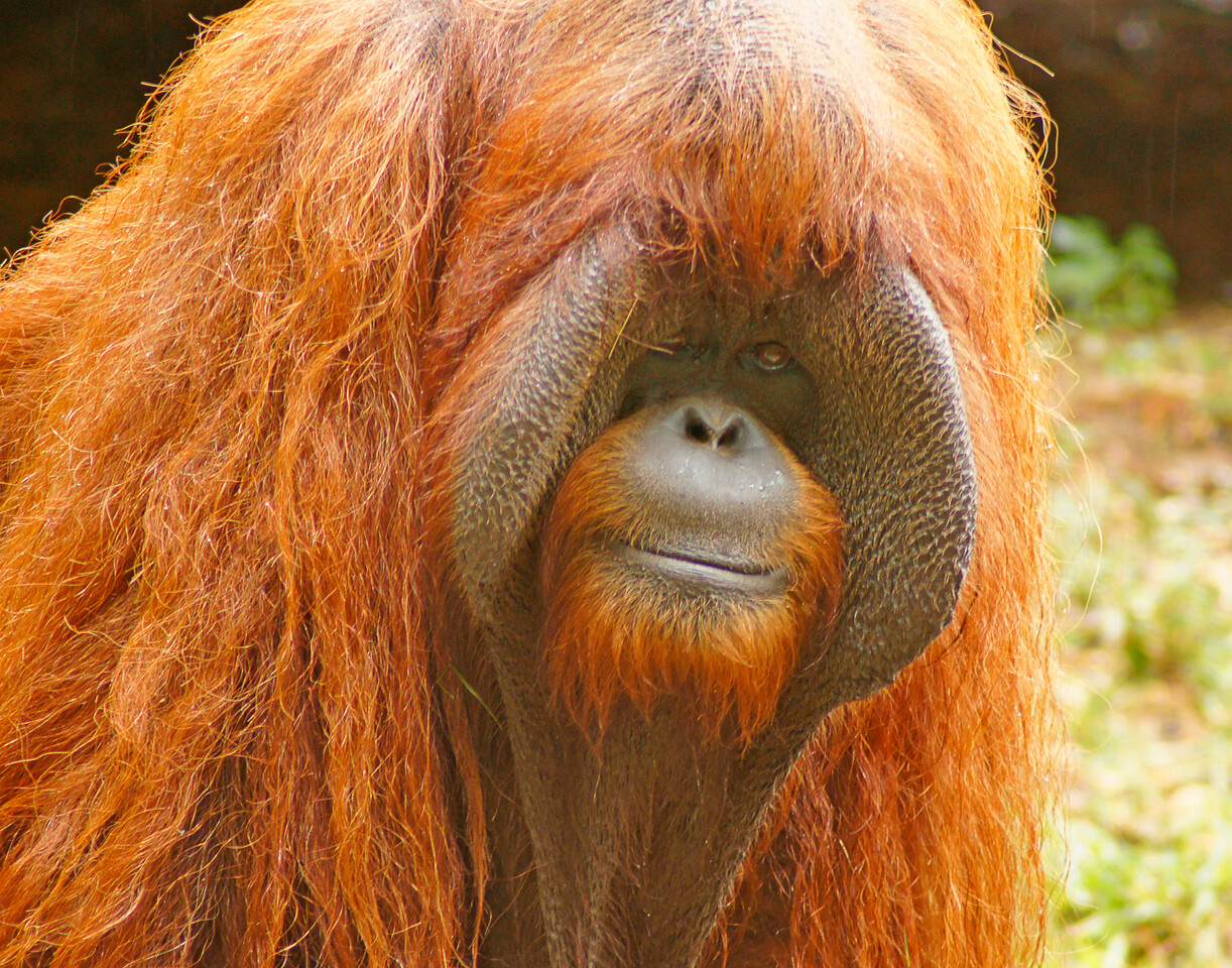 Orangutan<br /> <br /> We spent our last day at the Atlanta Zoo.