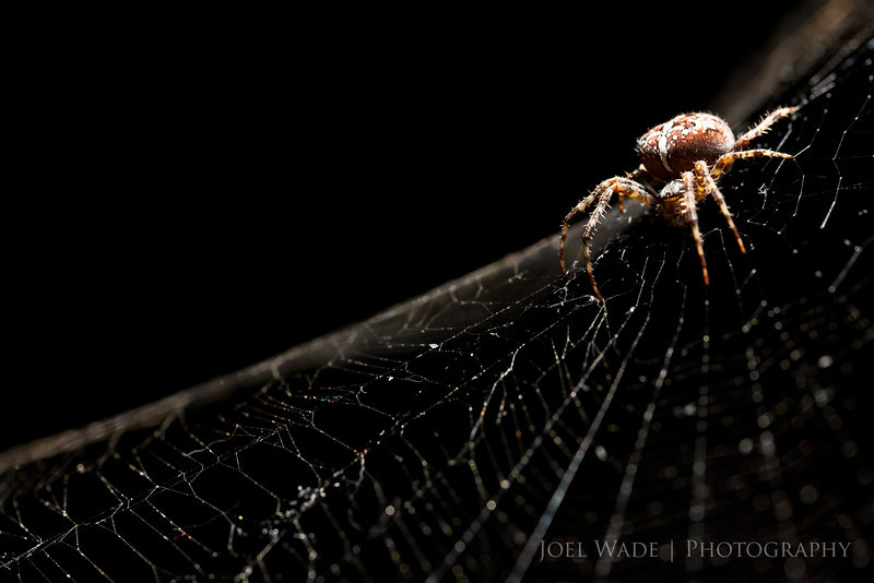 Web Master<br /> <br /> Happy Halloween!  This impressive fellow lives in my backyard, and after a few false starts he was an excellent model for me.  Night one I bumped the bush his web was attached to and he retreated for the night.  Night two he decided he'd rather monitor his web from the side instead of the middle like he usually does.  By night three I was ready, using a macro lens only a few inches away, a tripod sitting on my recycling bin, and a remote flash firing from the side   :)<br /> <br /> ISO 400, 100mm, f7.1, 1/125 second exposure.
