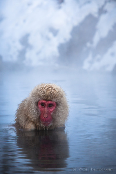 "Snow Monkey - Japan<br /> <br /> Outside Nagano, Japan in the ""Japanese Alps"" a troop of macaques has discovered the joys of resting and warming themselves up in natural volcanic hot springs.  After local inns in the mountain retreat tired of the monkeys invading their baths, their built them their own hot pool several hundred yards further up the river.  <br /> <br /> ISO 400, 90mm, f/5.6, 1/500 second exposure."