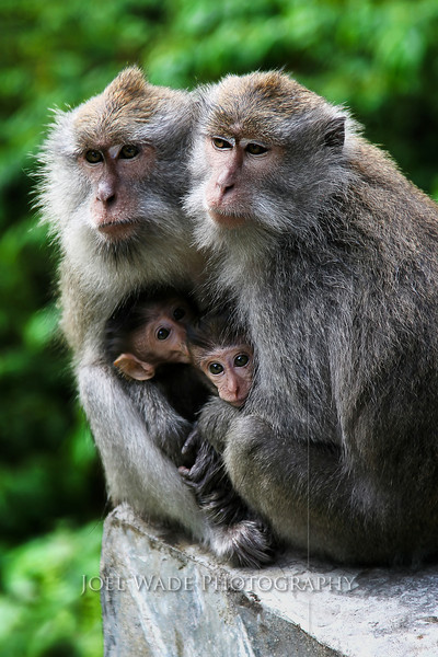 Macaque Love – Indonesia  I didn't notice the perfect shape the baby macaque's heads had formed until I got home.  A perfect heart for a perfect, beautiful family.  I came across these wild macaques several years ago while riding in a taxi on the Indonesian island of Lombok.  They calmly posed for me for several minutes atop their perch- a stone car railing at a curve on the road.  Keep your camera ready, and your eyes on the scenery and you never know what you might spot.     ISO 100, 105, f/4.0, 1/40s exposure.  More Photos from South East Asia here...  For larger, better viewing, try Slideshow:  http://joelwadephotography.com/photos/swfpopup.mg?AlbumID=9285943&AlbumKey=Xa4Ae  Gallery  http://joelwadephotography.com/Places/Singapore/9285943_Xa4Ae#620570071_CiCqz