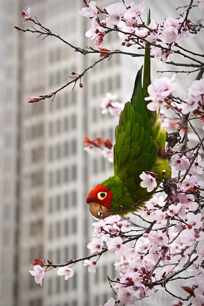 Wild Parrots of Telegraph Hill<br /> <br /> Spring is here, people!  Caught a member of one of the semi-famous wild parrot flocks in San Francisco munching on some fresh cherry blossoms near Embarcadero Center.<br /> <br /> ISO 200, 85mm, f7.1, 1/125 second exposure.