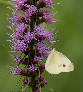 A cabbage white butterfly on a central Illinois blazing star.
