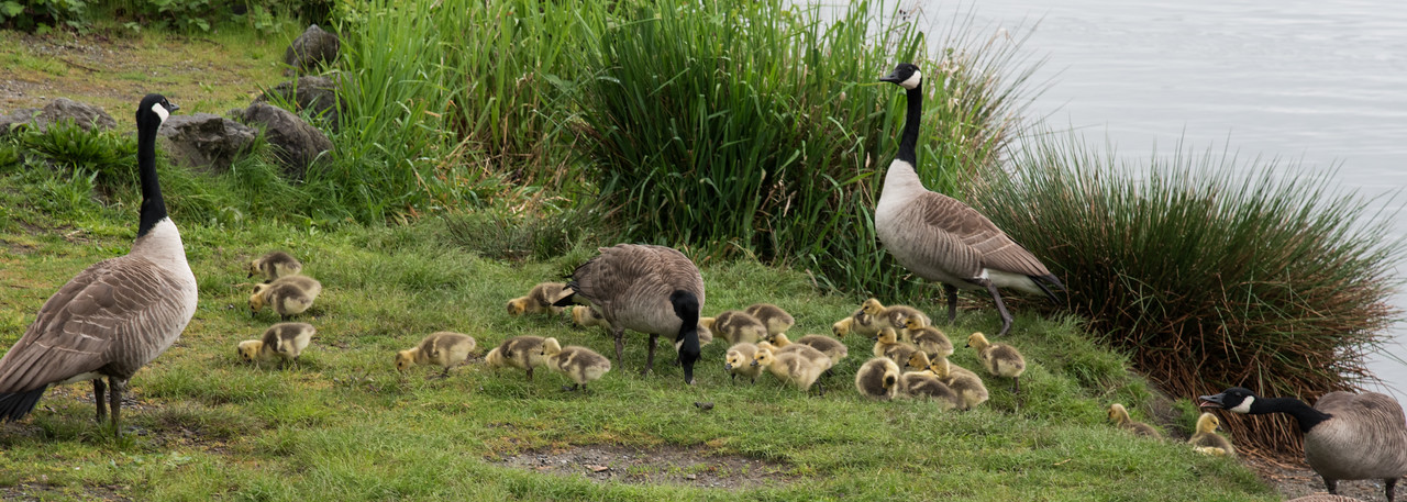 It was a good year for Goose production at Green Lake