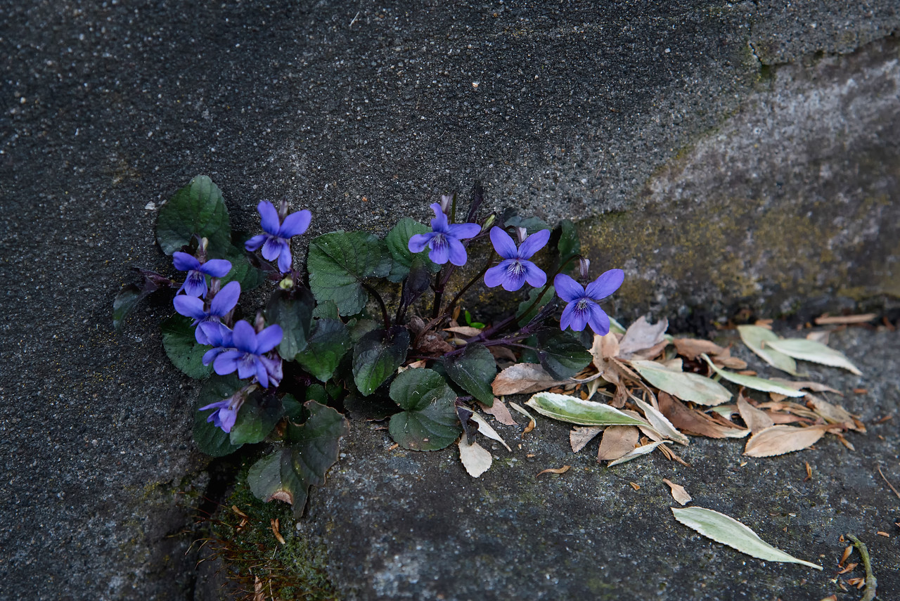 Violets in Concrete Steps