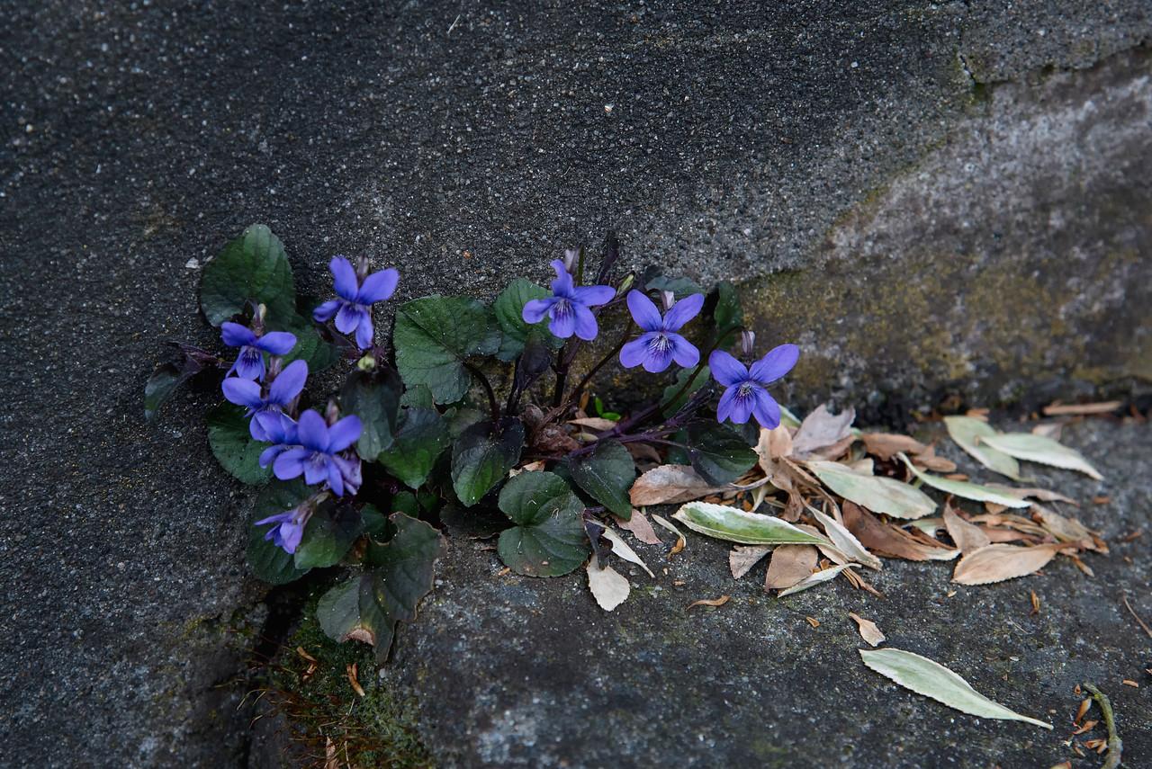 Violets in Concrete Steps