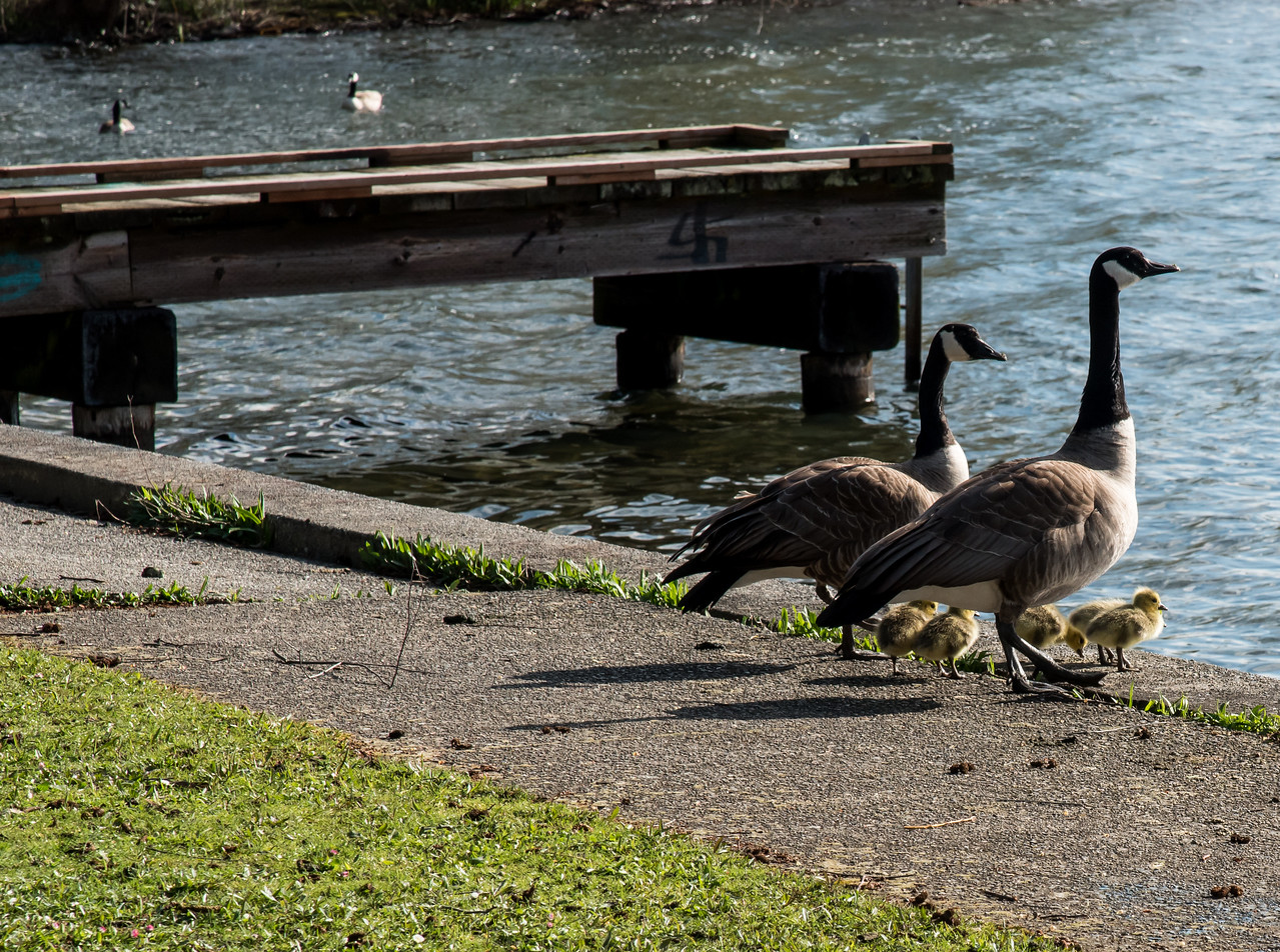 First Goose Babies at Green Lake