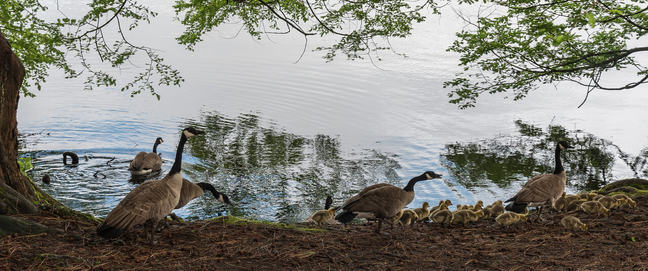 Canada Geese herding goslings
