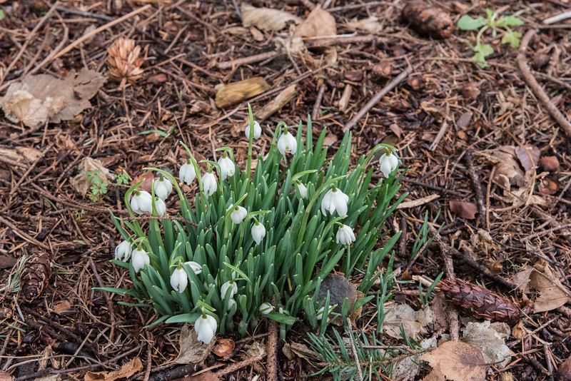 Snow Drops  (Note following photo of next day)