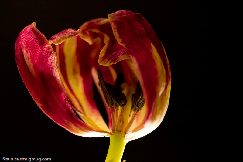 Feb. 10 <br /> <br /> Fading tulip<br /> <br /> Am trying to learn (and play) more with different types of light. Tried my hand at backlighting, and thought this came out okay (though the bottom of the flower does seem to have overblown highlights). As far as the flower goes - I've decided I have a brown thumb - my flowers never last more than a day and by the time I am ready to shoot, this is pretty much how they end up. I guess I could start a series on the 'faded beauty ' or something...