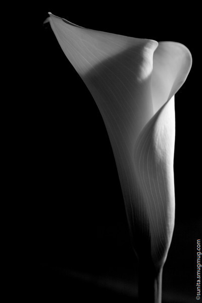 Jan. 18 <br /> <br /> Lily <br /> <br /> (A tribute to Imogen Cunningham - am reading through her book 'Flora')