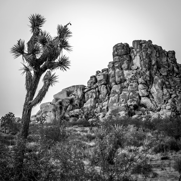 Joshua Tree National Park in Mojave Desert, California.